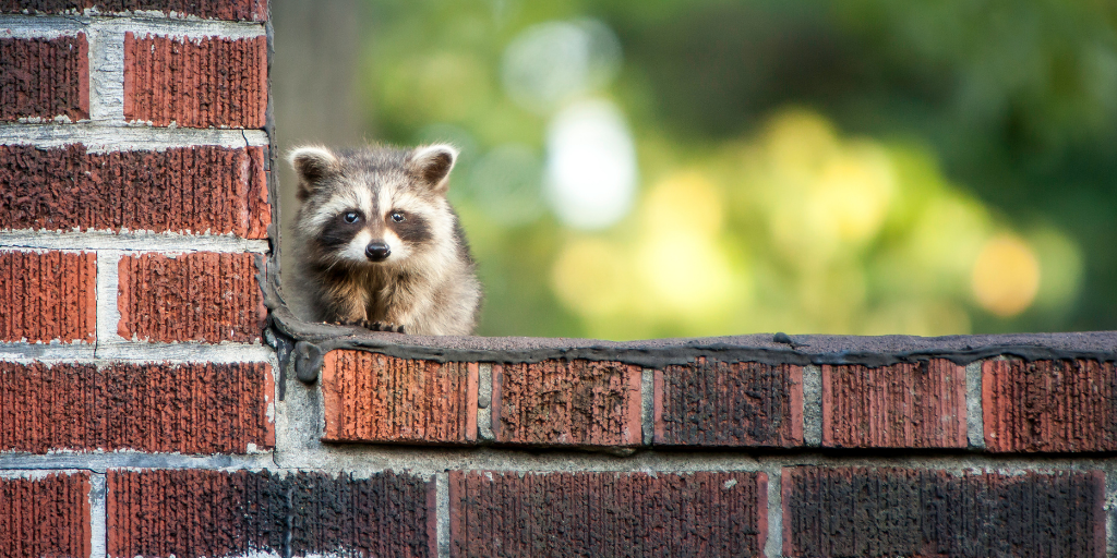 How to Recognize and Prevent Racoon Damage